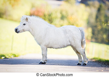 Cute white Shetland pony standing on the road, conformation.
