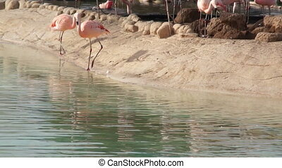 Large pink Flamingo cleans feathers