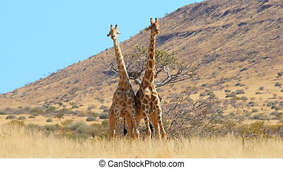 giraffes fighting slow motion - giraffes fighting for...