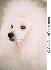 White Standard Poodle Dog Close Up Portrait - White Adult...