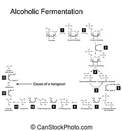 Chemical scheme of alcoholic fermentation metabolic pathway,...