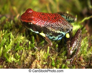 Ecuadorean poison frog Ameerega bilingua - In the Ecuadorian...