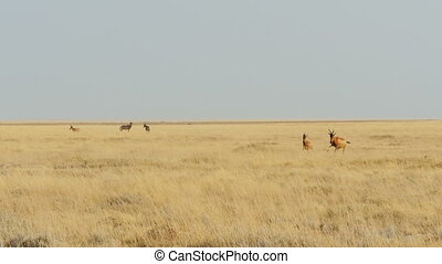 antelope running slow motion - antelope running pronking...