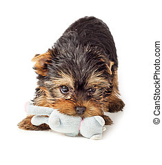 Yorkshire Terrier puppy playing with toy