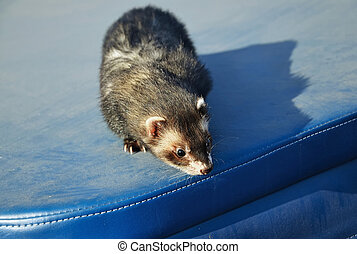 Cute ferret sitting on blue suitcase
