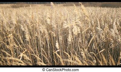 Rye field ears in autumn landscape