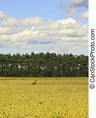 deer in wheatfield - a roe deer running through a field of...