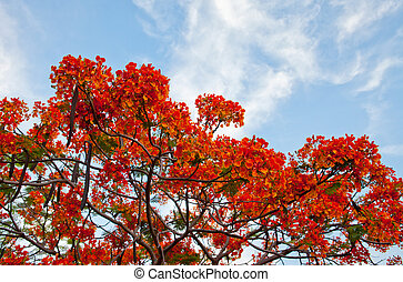 Beautiful royal poinciana tree in thailand