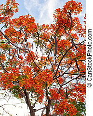Royal Poinciana - Beautiful royal poinciana tree in thailand