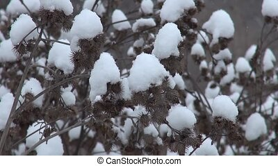 Snowy dry thorn in winter - Snowy dry thorn in the winter...
