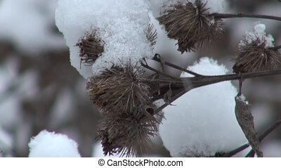Snowy dry thorn in winter closeup - Snowy dry thorn in the...