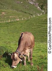 vaca, pasto, encantador, verde, pasto