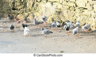 Many pigeon eating