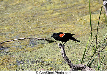 Red-winged Black Bird - Red Winged Black Bird perched on a...