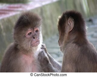 White-fronted Capuchin Monkeys Cebus albifrons grooming -...