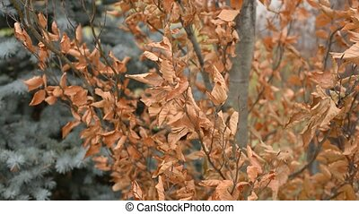 Dry brown leaves on tree in breeze. - Dead dry brown leaves...