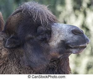 Bactrian Camel Close-up