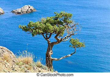 juniper tree on rock on sea surface background Novyj Svit...