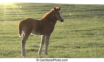 Foal in the Sun - Little foal walking on green spring...