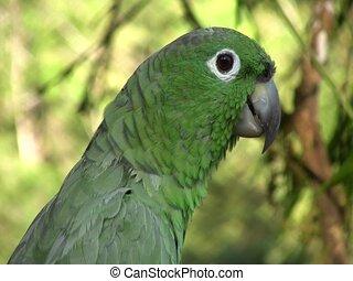 Mealy Parrot (Amazona farinosa)