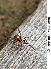 Grass Spider Agelenopsis spp Found in a typically on or near...