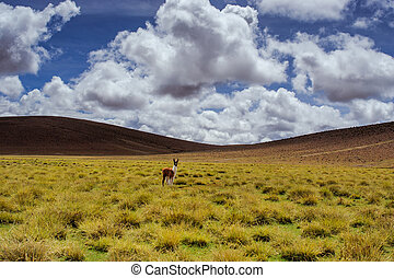 Alpacas on the Altiplano. Bolivia. South America. Eat grass....