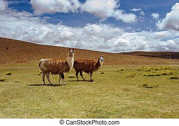 Alpacas on the Altiplano. Bolivia. South America. Eat grass.