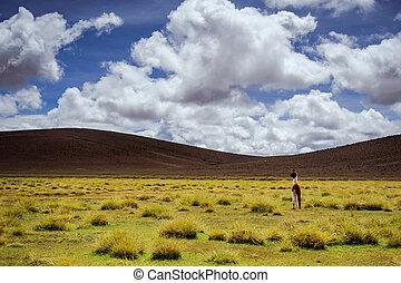Alpacas on the Altiplano. Bolivia. South America. Eat grass....