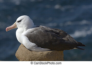 Black-browed albatross (Diomedea melanophris) on nest on...