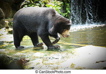 Malayan Sun Bear walking over the waterfall to find...