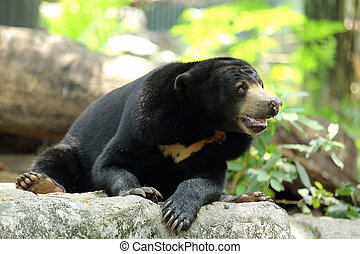 Malayan Sun Bear looking for find something to eat