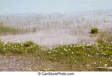 Cotton Grass By Lake - Cotton Grass at Rifflsee in the...