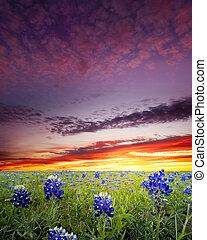 Bluebonnet Fields in Texas - Open meadow containing numerous...