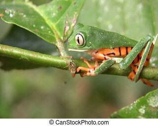 Barred Monkey Frog (Phyllomedusa tomopterna) - on a leaf in...