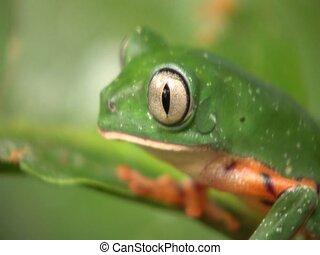 Barred Monkey Frog (Phyllomedusa tomopterna) - Blinks eye....