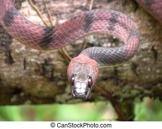 Red vine snake (Siphlophis compressus) - In the Ecuadorian...