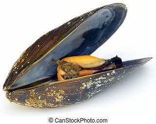 Mussel - Profile view of a mussel on a white background