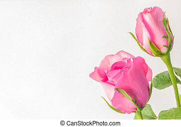 pink roses on a white background with space for your text