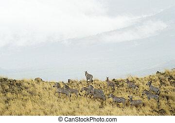 Zebra's coming on a hiltop in landscape.