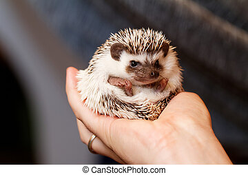 African white- bellied hedgehog - A cute little hedgehog -...