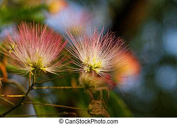 flores, de, Acacia,