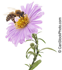 Honeybee and blue flower head isolated on a white background...