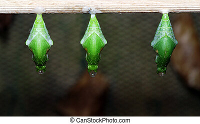 Three nymphs - Three green butterfly nymphs on the wood
