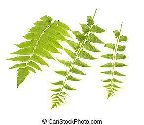 Three green leaves of fern isolated on white