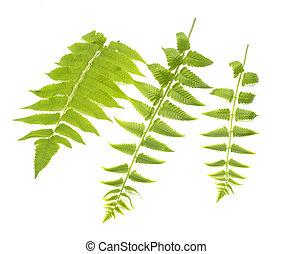 tres, verde, hojas, de, helecho, aislado, en, blanco,