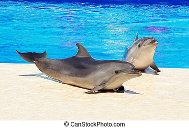 dolphins - Happy dolphins in the blue water of the swimming...