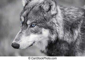 North American Gray Wolf WIth Blue Eyes - Black and white...