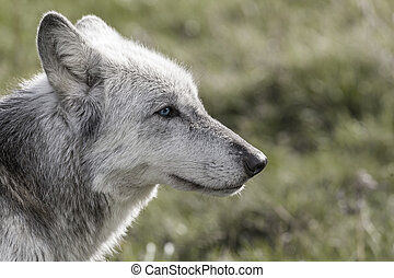 North American Gray Wolf WIth Blue Eyes - Desaturated...