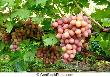 cluster of pink grape on vine - cluster of pink grape on the...