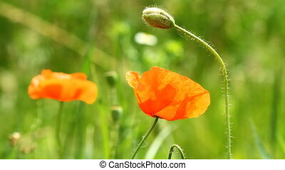 Red poppy flowers and singing nightingale
